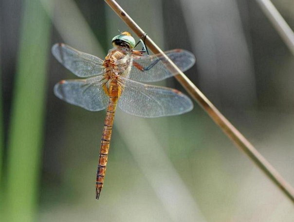 Orange dragonfly on Corfu