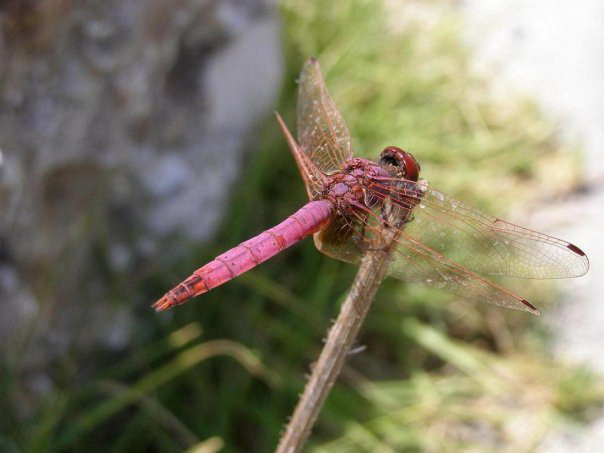 Pink dragonfly on Corfu