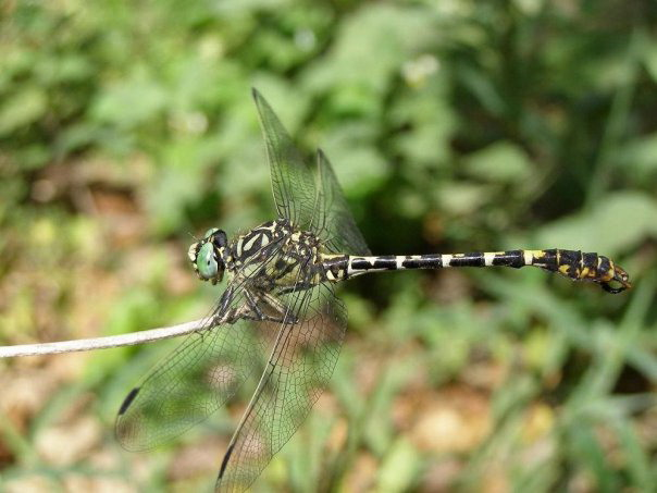 Striped dragonfly on Corfu